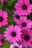 Beautiful Magenta Flowers with Dew Drops Stock Photo
