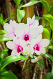 Beautiful magenta orchid Stock Photos