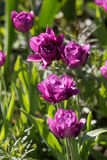 Beautiful magenta polypetal tulips in a botanical garden. In Moscow Royalty Free Stock Photography
