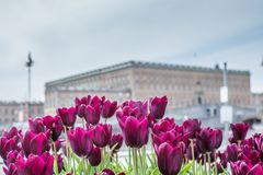 Beautiful magenta Tulips in spring May day in Stockholm with the royal swedish palace in the background. 1 royalty free stock photos
