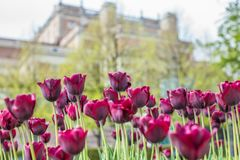 Beautiful magenta Tulips in spring May day in Stockholm with the royal swedish palace in the background. 1 royalty free stock image