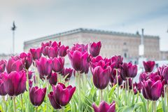 Beautiful magenta Tulips in spring May day in Stockholm with the royal swedish palace in the background. 1 stock photo