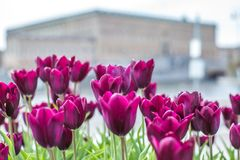 Beautiful magenta Tulips in spring May day in Stockholm with the royal swedish palace in the background. 1 royalty free stock images