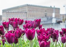 Beautiful magenta Tulips in spring May day in Stockholm with the royal swedish palace in the background. 1 stock images
