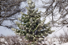 Beautiful magic Christmas tree. The magic of a beautiful young herringbone Stock Photography