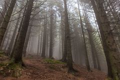 Beautiful magic forest in fog in autumn Royalty Free Stock Image