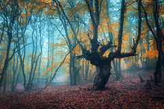 Beautiful magic forest in fog in autumn. Mysterious wood. Fairytale. Landscape royalty free stock images