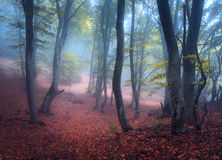 Beautiful magic forest in fog in autumn. Mysterious wood. Fairyt Royalty Free Stock Photography