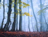 Beautiful magic forest in fog in autumn. Mysterious wood. Fairyt Royalty Free Stock Images