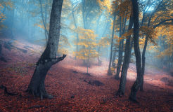 Beautiful magic forest in fog in autumn. Mysterious wood. Fairyt Stock Photography