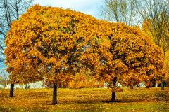 Beautiful magic landscape with two autumn trees and falling yellow leaves in park stock images
