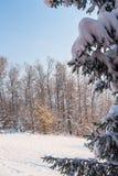 Beautiful magic winter sunset over high fir tree Stock Images