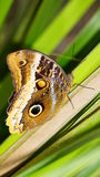 Magnificent Owl Butterfly. A Magnificent Owl (Caligo Atreus) butterfly native to Neotropical zone photographed in Phoenix, Arizona Stock Images