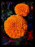 Magnificent Marigold Flowers stock photography