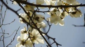 Beautiful magnolia bloom in sunshine. Gh2_01535 stock video
