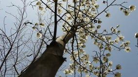 Beautiful magnolia bloom in sunshine. stock video footage