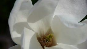 Beautiful magnolia bloom in sunshine. Gh2_01645 stock footage
