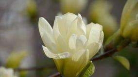 Beautiful magnolia bloom in sunshine. stock footage