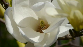 Beautiful magnolia bloom in sunshine. stock video