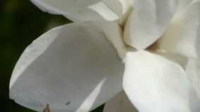 Beautiful magnolia bloom in sunshine. Gh2_01644 stock video footage