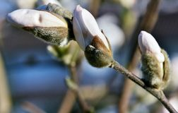 Beautiful Magnolia blossoms Royalty Free Stock Photography