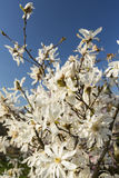 Beautiful magnolia blossoms in spring. Profiled on sky Stock Image