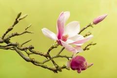 Beautiful magnolia Stock Photo