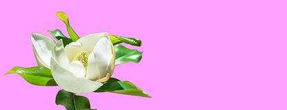 Beautiful magnolia flower bud on trendy pink background. Spring summer concept with white magnolia blossom. selective focus, copy vector illustration