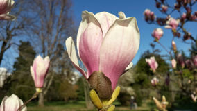 Beautiful magnolia flower. Exotic plants in Sochi dendropark at early spring Royalty Free Stock Images