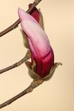 Beautiful magnolia flower ready to emerge Stock Image