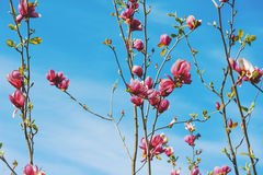 Beautiful magnolia flowers against the blue sky. Royalty Free Stock Photo