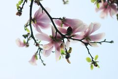 Beautiful magnolia flowers. Blooming magnolia tree in the spring stock photography