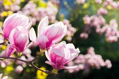 Beautiful magnolia flowers on the branches. Wonderful nature background in springtime. sunny weather stock photography