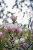 Beautiful magnolia flowers Stock Image