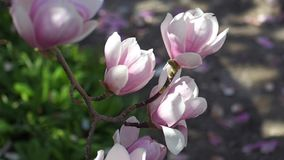 Beautiful Magnolia Flowers With Green And Petals stock video footage