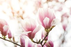 Beautiful magnolia flowers in spring , floral background stock photos