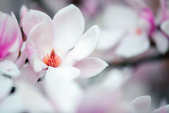 Beautiful magnolia flowers in spring sunny day. Stock Photography