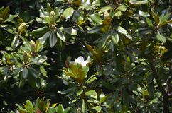 Beautiful magnolia leaves and flowers in a tropical park stock photography