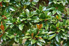 Beautiful magnolia leaves in tropical park Stock Photo