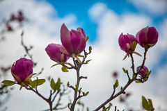 Beautiful magnolia pink flowers on branches in sunny park. Royalty Free Stock Photos