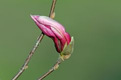 Beautiful magnolia spring flower Stock Photos