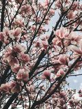Beautiful magnolia tree on background of sunny sky. White and pink magnolia flowers on tree branches. Hello spring. Happy Mothers. Day royalty free stock image