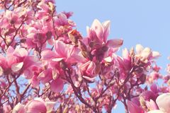Beautiful magnolia tree in blooming. In a botanical garden. Spring view Royalty Free Stock Photography