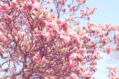 Beautiful magnolia tree in blooming. In a botanical garden. Spring view Royalty Free Stock Image
