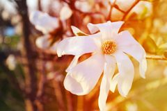 Beautiful magnolia tree in blooming. In a botanical garden. Spring view Stock Photos