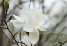 Beautiful magnolia tree blossom Royalty Free Stock Photo