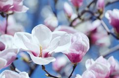 Beautiful magnolia tree blossoms in springtime. Bright magnolia flower against blue sky. Romantic floral backdrop Royalty Free Stock Photography
