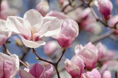 Beautiful magnolia tree blossoms in springtime. Bright magnolia flower against blue sky. Romantic floral backdrop Stock Image