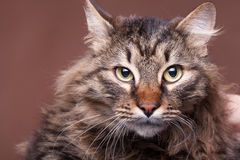 Beautiful main coon cat breed on brown background. In studio photo. Fluffy pet Stock Photography