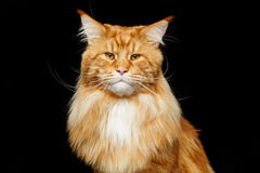 Beautiful maine coon cat Royalty Free Stock Photos